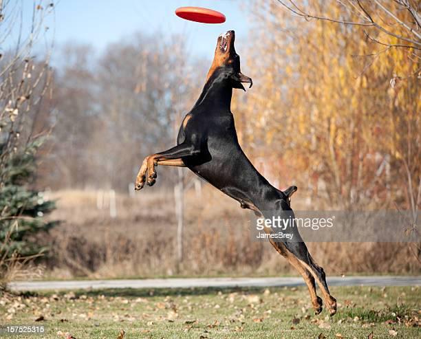 強力な、優雅なドーベルマンピンシェル犬のジャンプ、フリスビーをキャッチ
