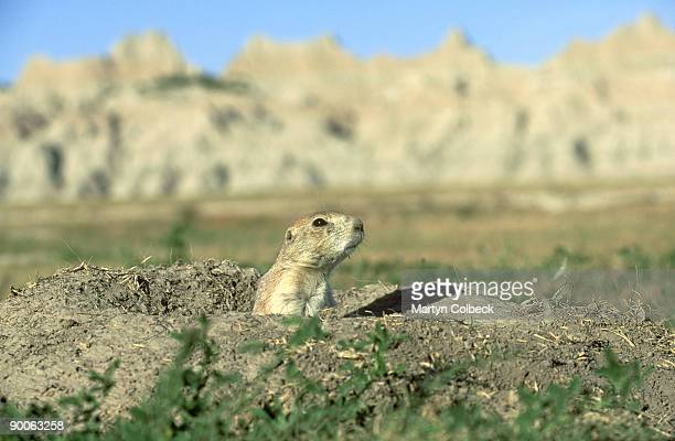 prairie dog: cynomys ludovicianus  badlands  south dakota, u sa