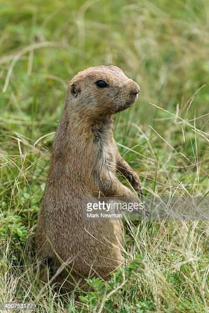 Prairie Dog, cynomys ludovicianus