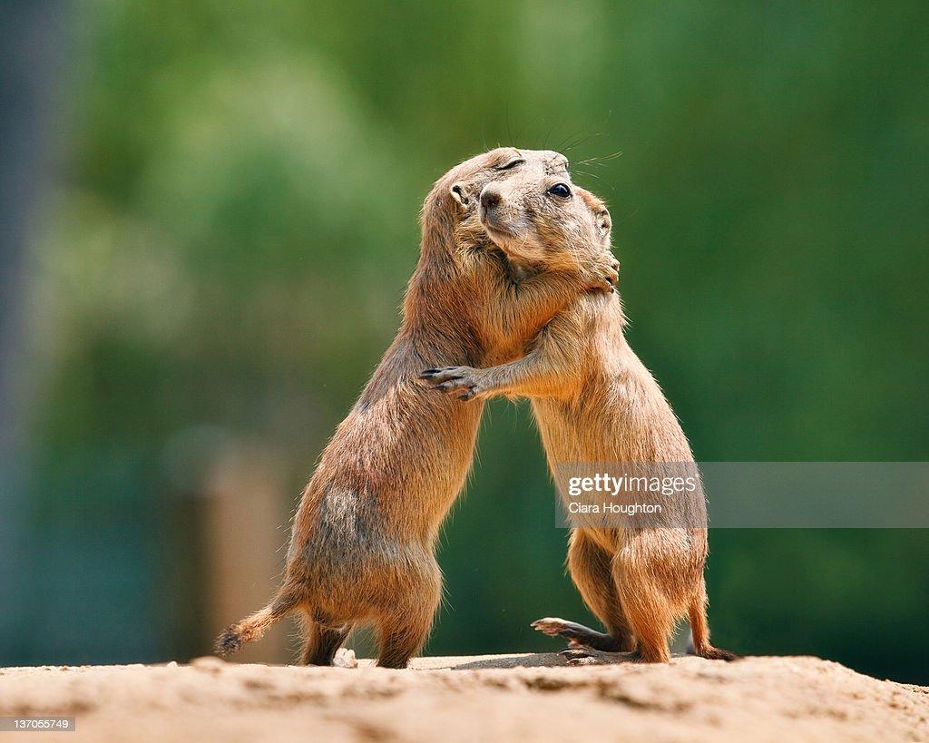 Prairie dog embrace