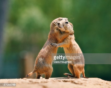 Prairie dog embrace