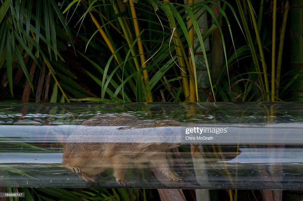 A Prairie Dog from America is seen running through a clear viewing tube during a media tour ahead of the opening of River Safari at the Singapore Zoo on March 25, 2013 in Singapore. The River Safari is Wildlife Reserves Singapore's latest attraction. Set over 12 hectares, the park is Asia's first and only river-themed wildlife park and will showcase wildlife from eight iconic river systems of the world, including the Mekong River, Amazon River, the Congo River through to the Ganges and the Mississippi. The attraction is home to 150 plant species and over 300 animal species including 42 endangered species. River Safari will open to the public on April 3.