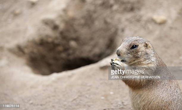 A prairie dog is pictured on June 30 at the Amneville's zoo eastern France