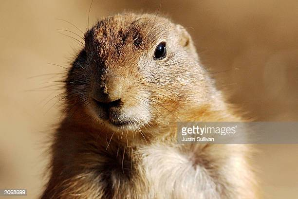 A prairie dog is shown at the San Francisco Zoo in this undated file photo An official at the Centers for Disease Control and Prevention answered...