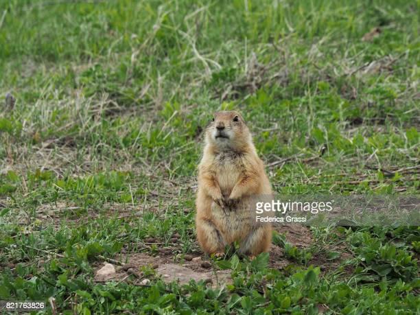 Prairie Dog Standing Near Its Burrow