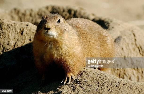 A prairie dog stands on dirt at the San Francisco Zoo in this undated file photo An official at the Centers for Disease Control and Prevention...