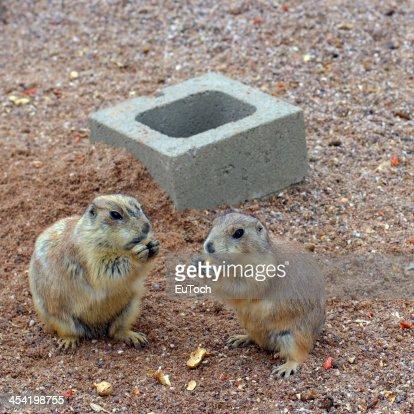 Prairie Dogs Snack Time : Stock Photo