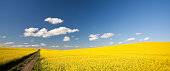 A canola or rapeseed field on the prairie with dirt road. Panorama.
