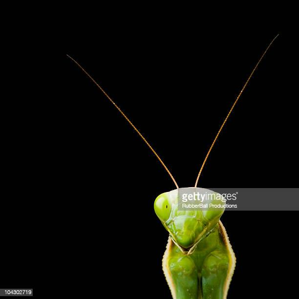 praying mantis against a black background
