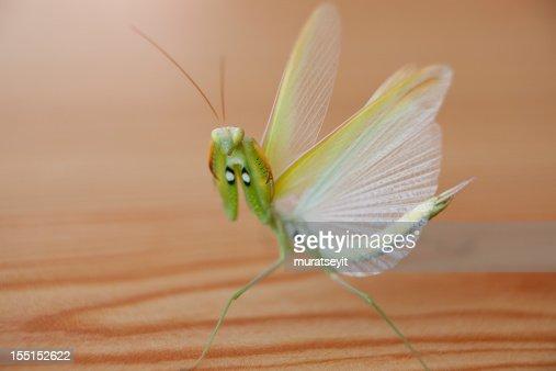 praying mantis and  his wings