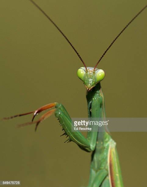 Praying Mantis close-up of a skilled predator