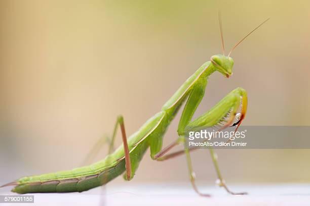 Praying mantis, close-up