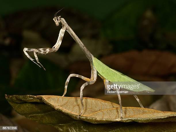 Praying mantis (order Mantodea), Colombia