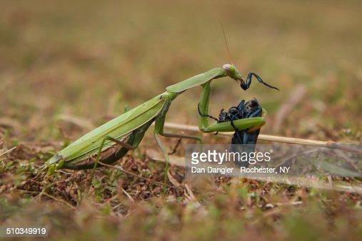 Praying Mantis Eating Beetle
