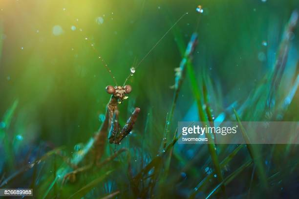 Praying mantis hiding in grass field. looking at the camera.