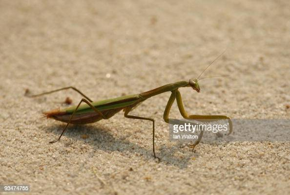 Praying Mantis is seen during the Foursome's on the second day of the Omega Mission Hills World Cup on the Olazabal course on November 29 2009 in...