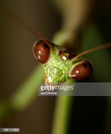 Praying Mantis - Macro
