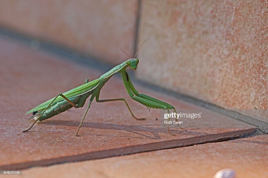 praying mantis mantid religiosa on patio step close up : Stock Photo