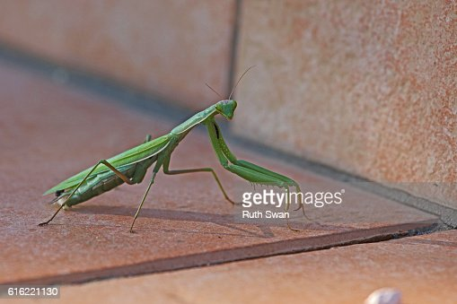 praying mantis mantid religiosa on patio step close up : Stock-Foto