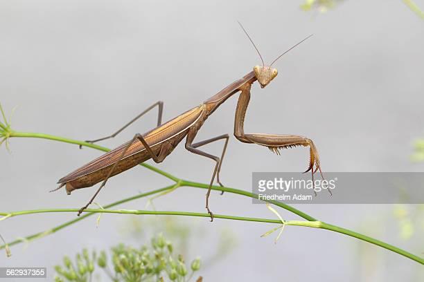 Praying Mantis -Mantis religiosa-, Burgenland, Austria