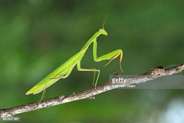 praying mantis stock photos and pictures getty images