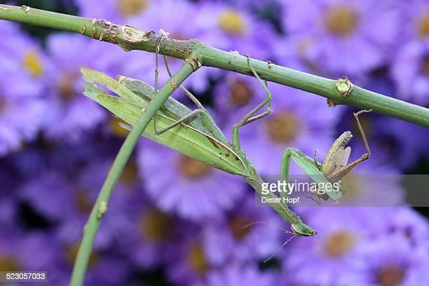 Praying mantis -Mantis religiosa- feeding on grasshopper, Hungary, Europe