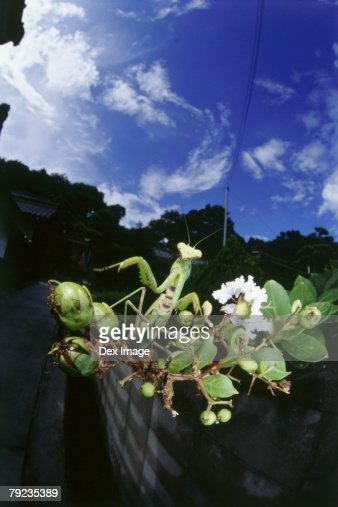 Praying mantis on a tree branch, close up : Stock Photo