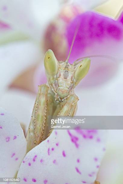 Praying mantis on an Orchid flower