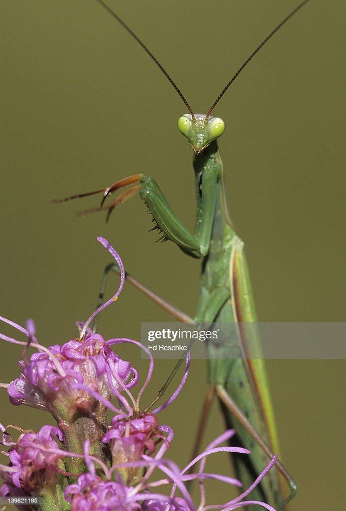 Praying Mantis - Predator In Disguise