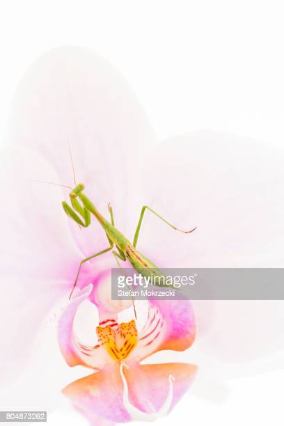 Praying Mantis On Orchid Flower
