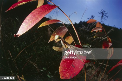 Praying mantis on red leaf, close up : Stock Photo
