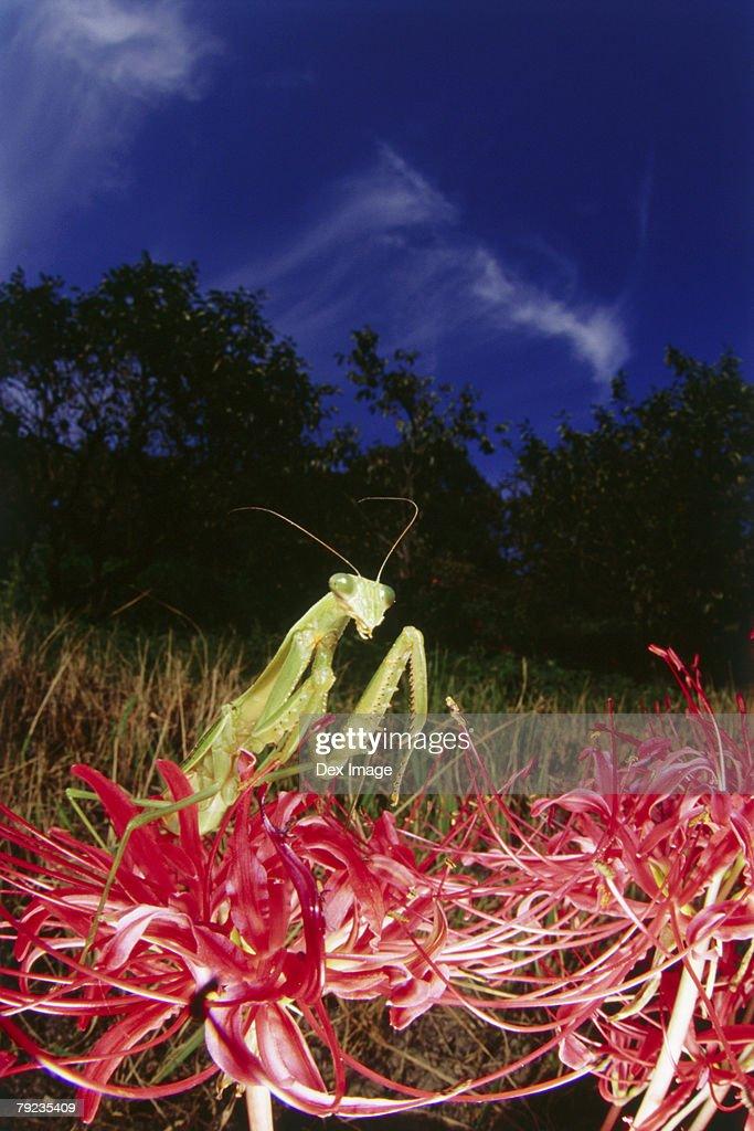 Praying mantis on red plant, close up : Stock Photo