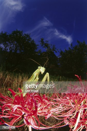 Praying mantis on red plant, close up : Stock Photo