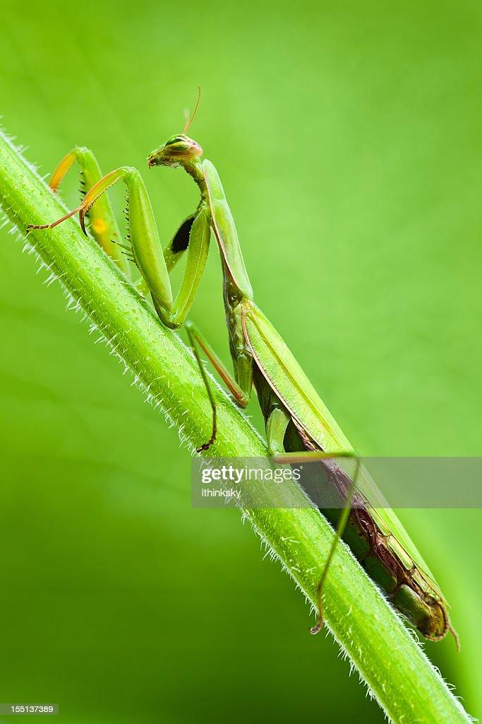 praying mantis stock photo getty images