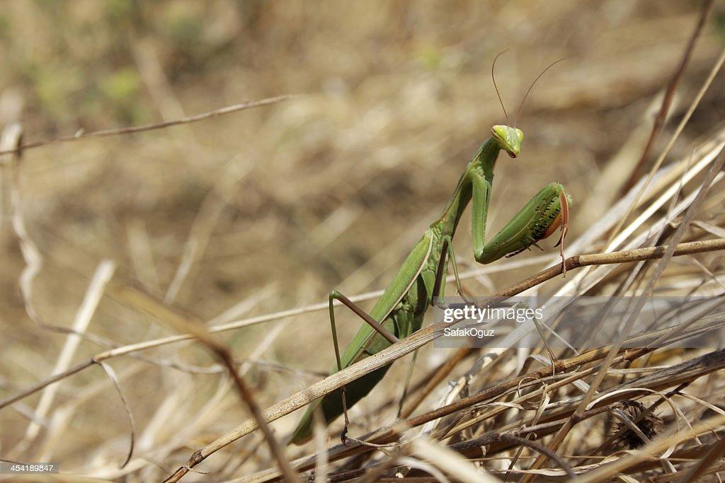 Praying Mantis : Stock Photo