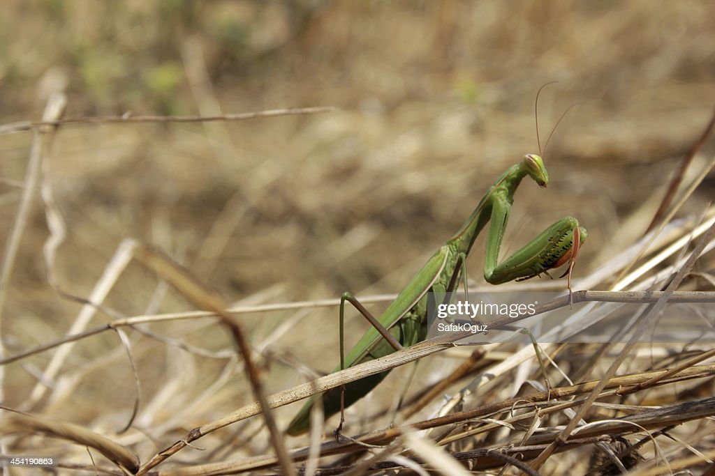 Praying Mantis : Stock Photo