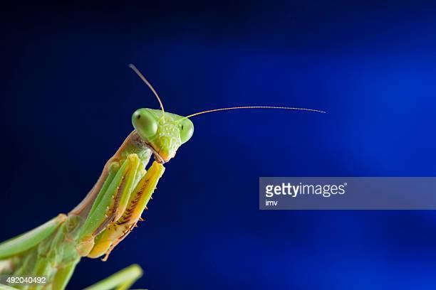 Praying mantis portrait