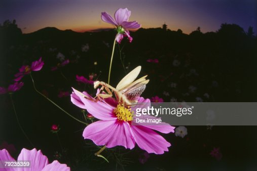 Praying mantis spreads its wings on cosmos flower : Stock Photo