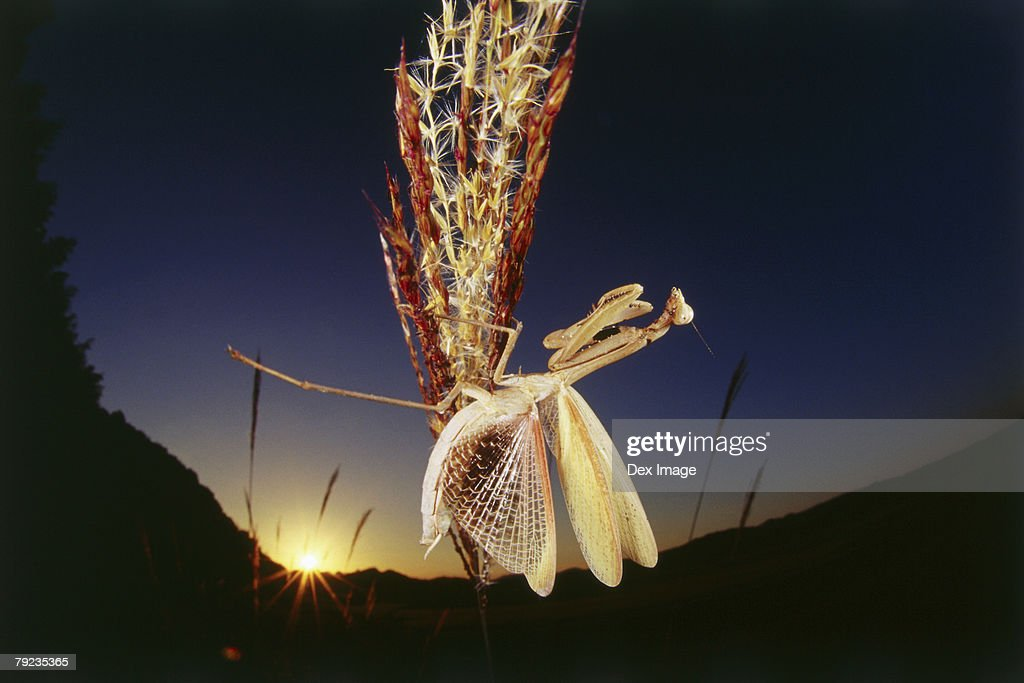 Praying mantis spreads its wings on plant at sunset : Stock Photo