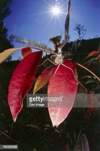 Praying mantis strikes, close up : Stock Photo