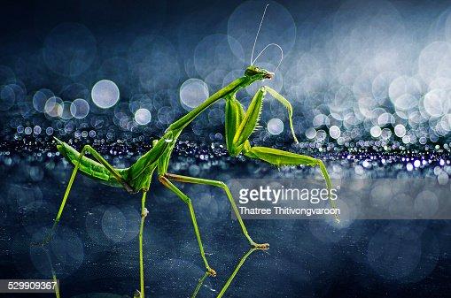 Praying mantis with rain bokeh