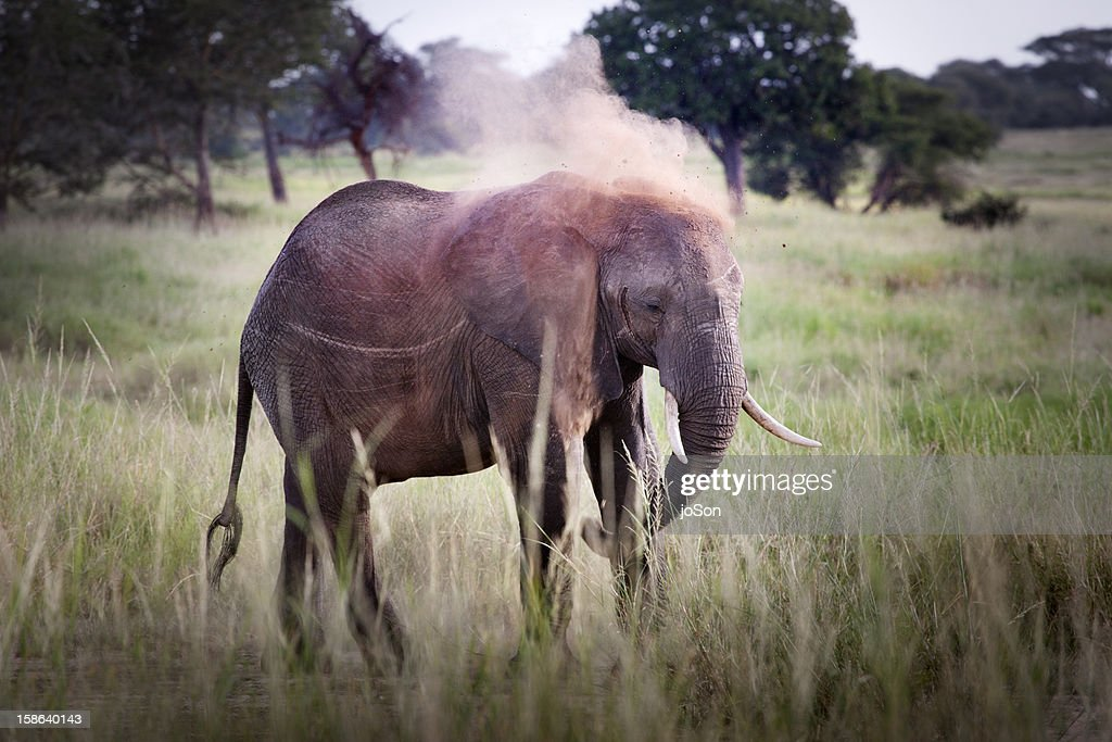 Pre-adult African Elephant dust bathing : Stock Photo