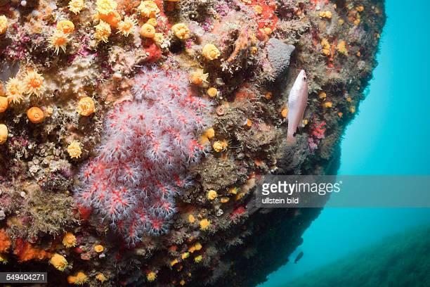 Precious Corals Corallium rubrum Cap de Creus Costa Brava Spain