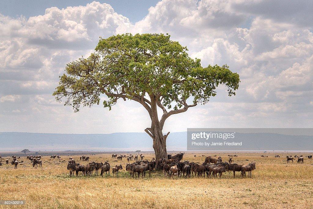 Precious Masai Mara Shade