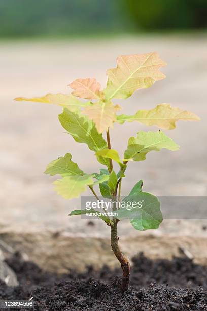 Precious Oak Sapling