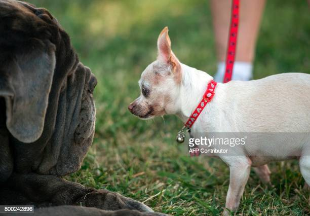 Precious the Chihuahua faces off with Martha the Neopolitan Mastiff during The World's Ugliest Dog Competition in Petaluma California on June 23 2017...