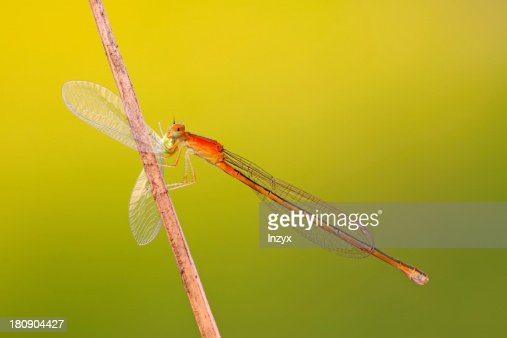 predator damselflies : Stock Photo