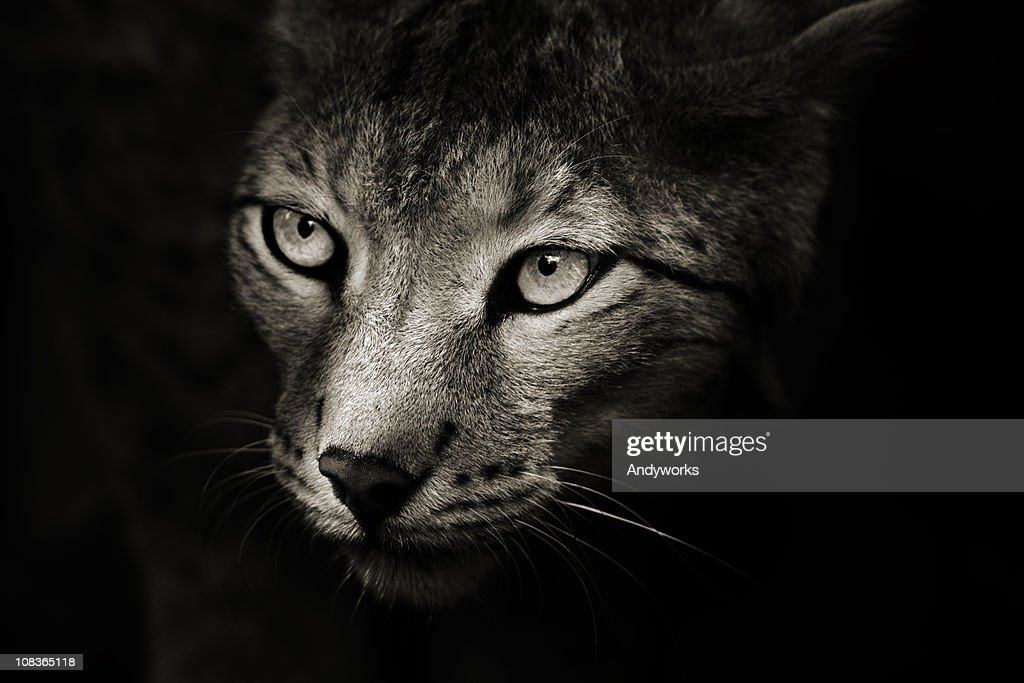 Predator In The Darkness : Stock Photo