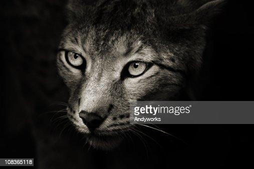Predator In The Darkness : Stock Photo