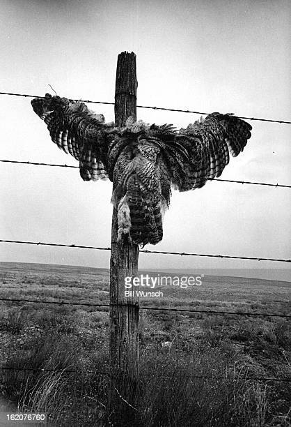 FEB 26 1974 Predator Is The Victim Its plumage whipped by gusty winds a dead great horned owl creates an unusual sight on a barbedwire range fence on...